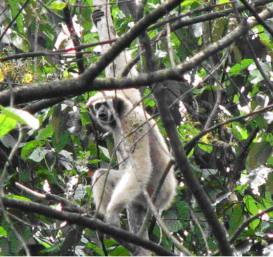 Eastern Hoolock Gibbon Female